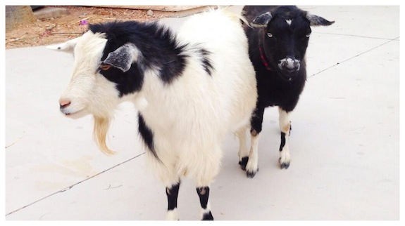 Fainting goats are best in pairs.